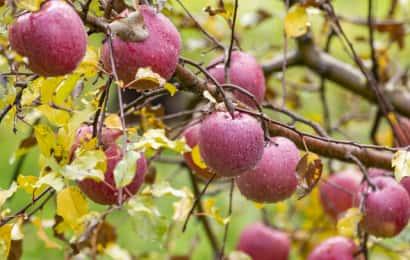 カネシゲ農園のりんご