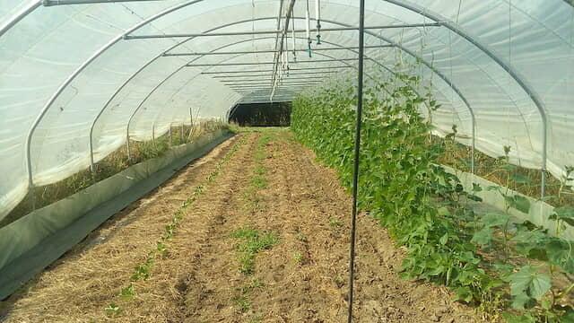 サヤインゲン、栽培