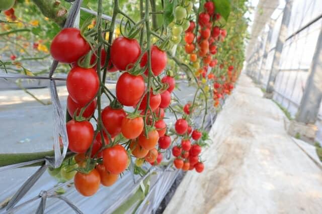 ビニールハウス内のトマト