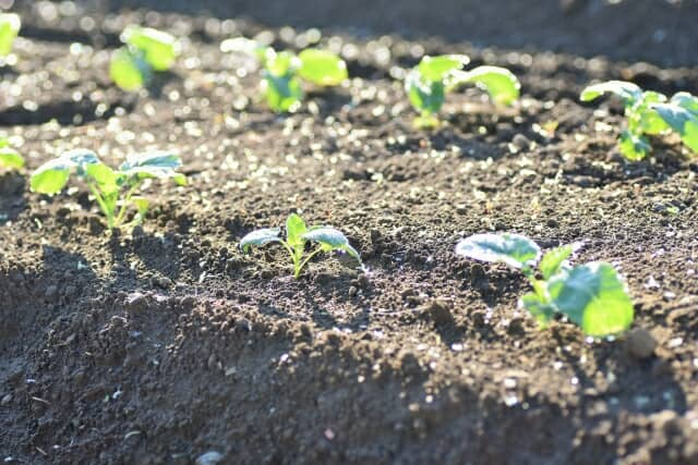 畝に植えられたブロッコリーの苗