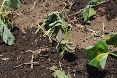 サツマイモ、植え付け