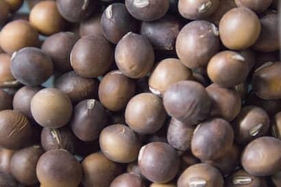 エダマメの種類の一つ「茶豆」