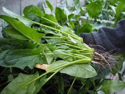 プランター栽培のほうれん草