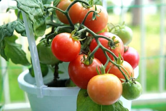 プランターでトマト栽培