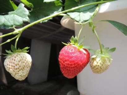 プランターでイチゴ栽培