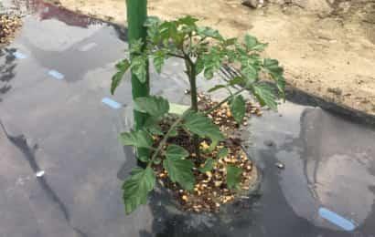 ミニトマトの支柱立て