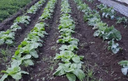 平畝で育つ野菜