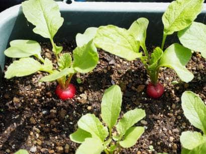 ラディッシュのプランター栽培