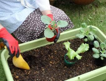 野菜の苗をプランターに植え付ける