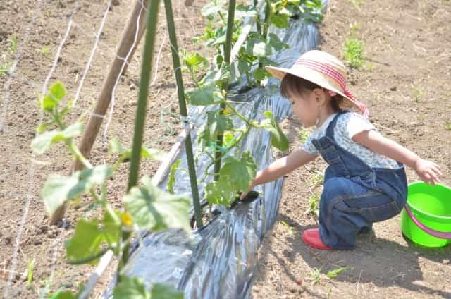 キュウリを収穫する子ども