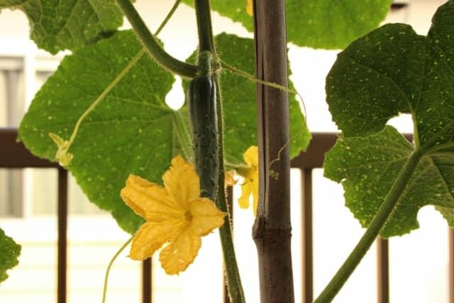 支柱に沿って育ったキュウリの実と花