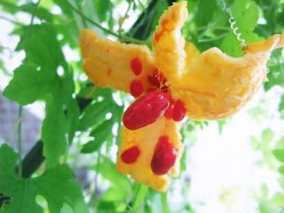 黄色く完熟し破裂したゴーヤの実と赤いゼリー状に覆われたゴーヤの種子