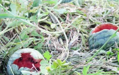 スイカを鳥に食べられる