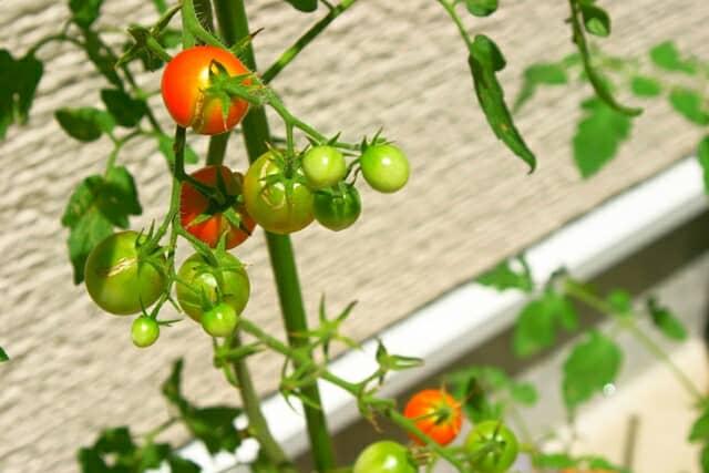 支柱につたって育つミニトマト