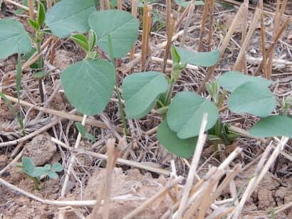 発芽して子葉、初生葉が生育し、次に本葉が出始めたエダマメの幼苗