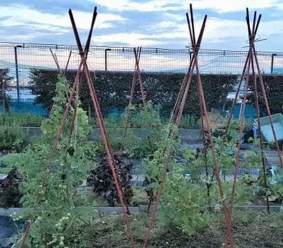 台風が来る前にミニトマトに支柱を立てる