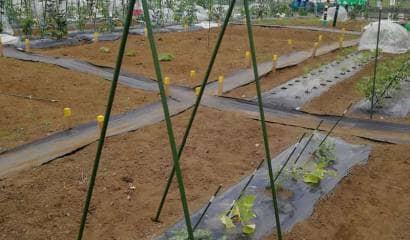 畑に設置した合掌式の支柱