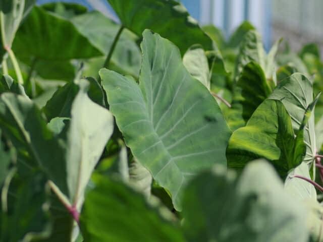 サトイモ、栽培