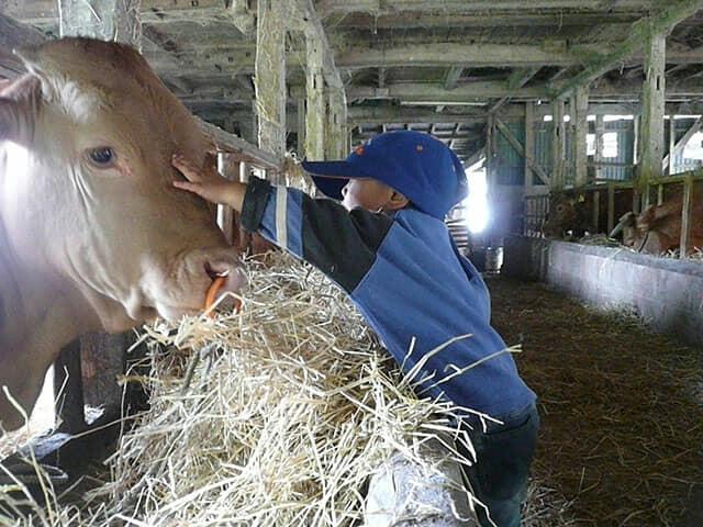 牛を触る子ども
