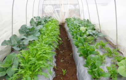 水菜と小松菜の防虫トンネル