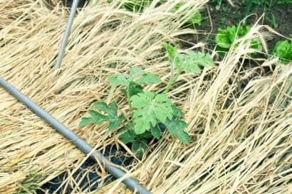 スイカの苗と敷きワラ