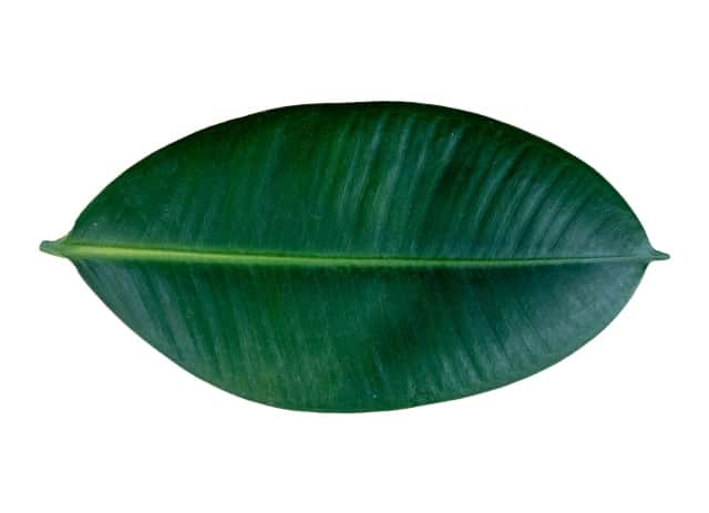 ゴムの木の葉