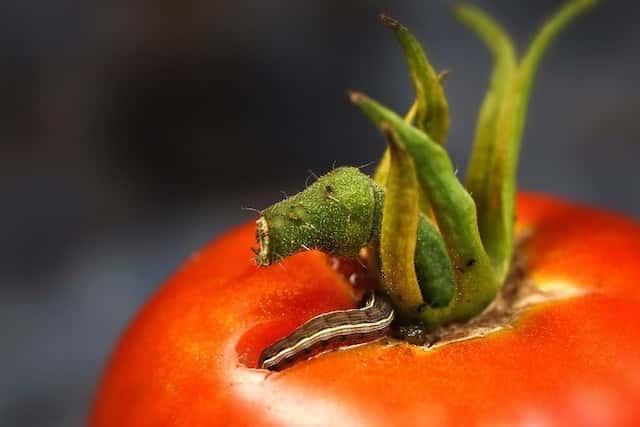 トマトを食害する害虫