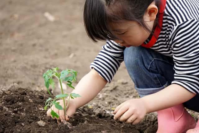 トマトの苗を植える女の子