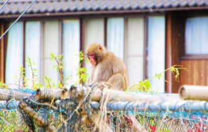 民家まで近づく猿