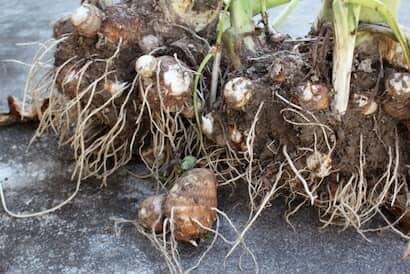 サトイモ、塊茎