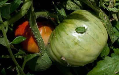 トマトの果実を吸汁しているカメムシ