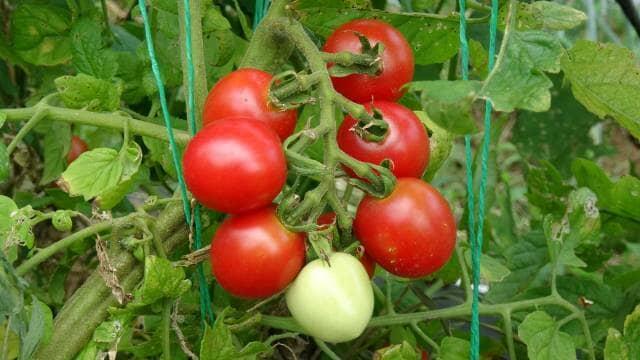 完熟したミニトマト