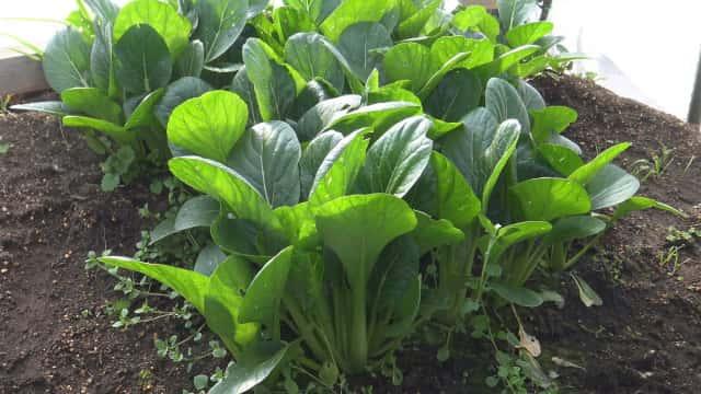 家庭菜園の小松菜