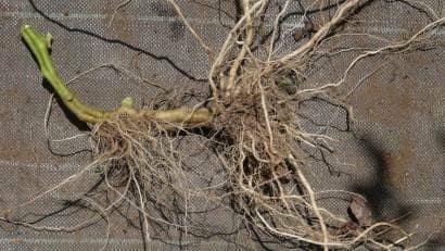 寝かせ植えで茎から発生したトマトの根