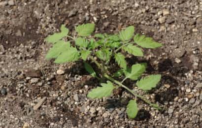 定植されたミニトマトの苗