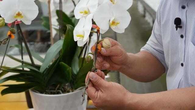 胡蝶蘭の仮支柱