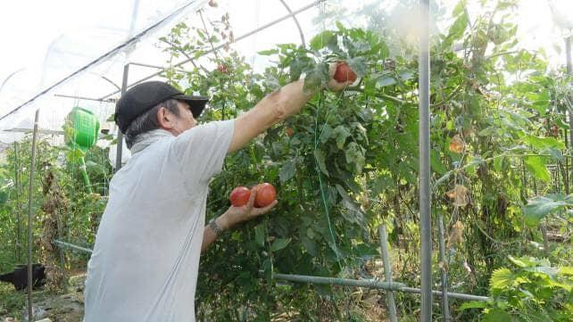 トマトの支柱を立てている様子