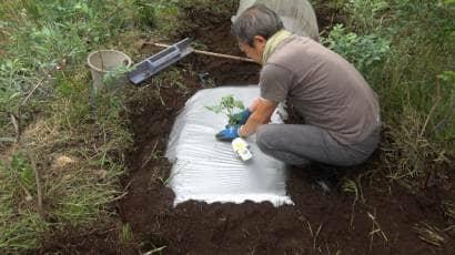 スイカの苗の植え付け