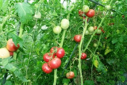 トマトの誘引