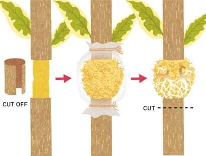 ゴムの木 取り木の方法
