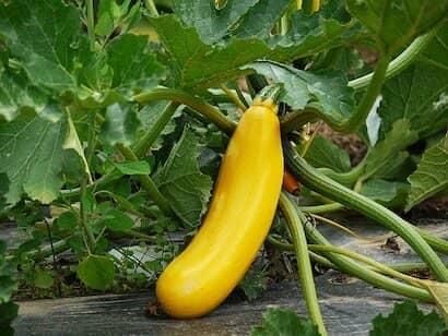 ズッキーニ、品種、黄色、円筒形