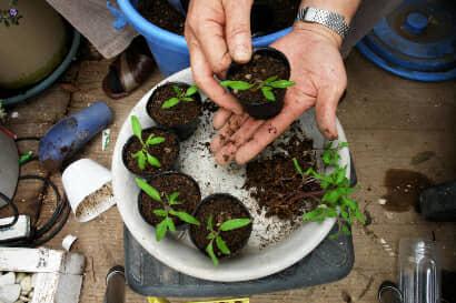 ミニトマトの間引き苗をポットに移す