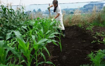 トウモロコシの土寄せ