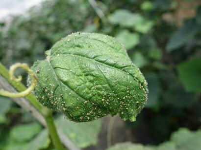 アブラムシの食害を受けるキュウリ葉