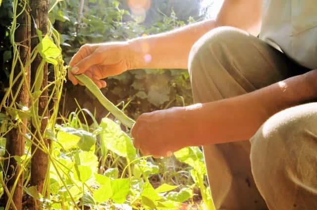 インゲン栽培