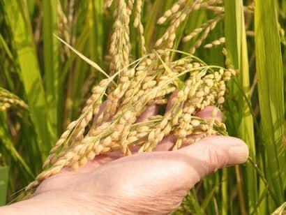 稲穂を見て、収穫時期を判断