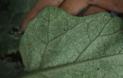 ハダニに加害されたナスの葉