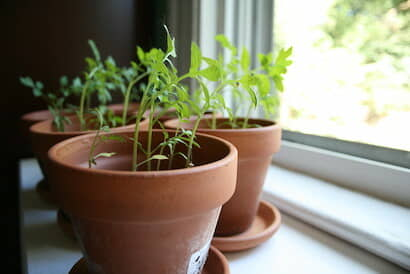 植木鉢で野菜やハーブを育てる窓辺の家庭菜園