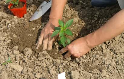トウガラシの苗の植え付け