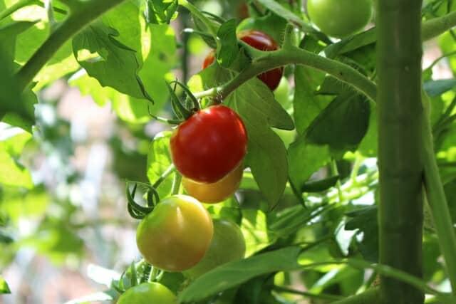 実るミニトマト